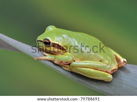 Frog Hyla arborea (European Tree Frog, Green Tree Frog) on a plant - stock photo