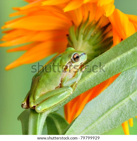 Frog Hyla arborea (European Tree Frog, Green Tree Frog) on a plant