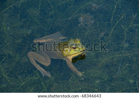 frog in a lily pond partially under water