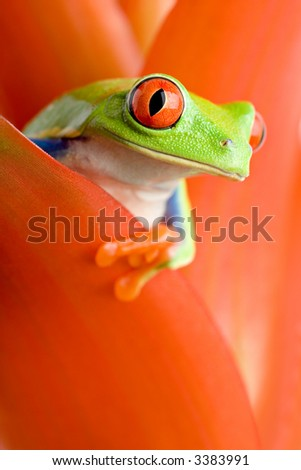 frog in a plant - red-eyed tree frog peeking out from a guzmania. closeup, focus on eye.