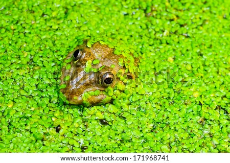 Frog in a pond surrounded by duckweed .