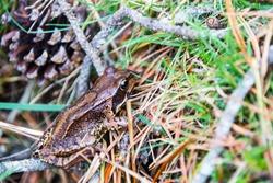 Frog in Font Romeu, Cerdagne, Pyrenees, Spain.