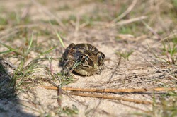 frog in grass and sand