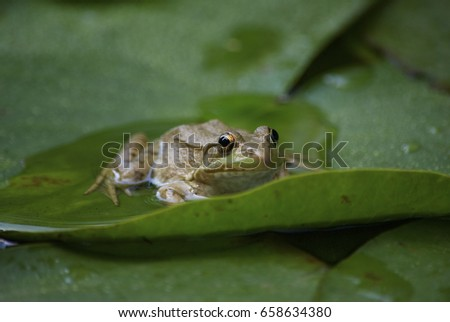 frog in pond #658634380