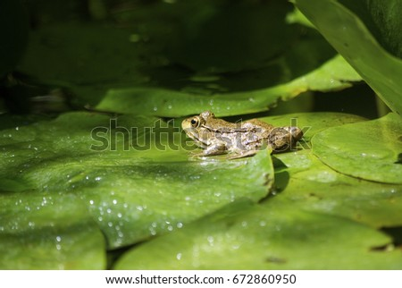 frog in pond #672860950