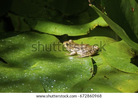 frog in pond #672860968