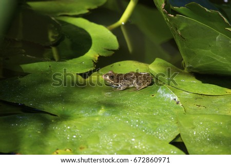 frog in pond #672860971