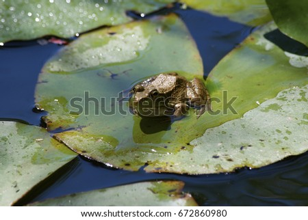 frog in pond #672860980