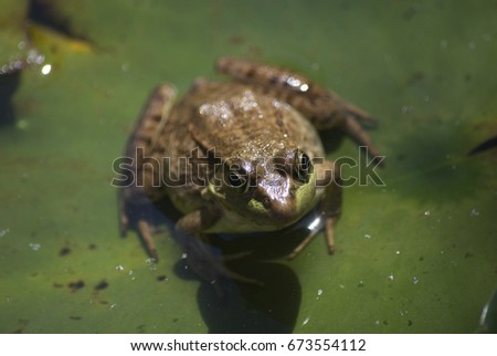 frog in pond #673554112