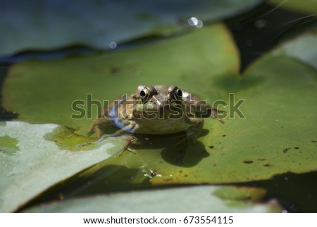 frog in pond #673554115