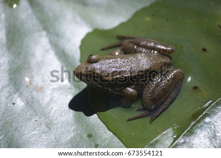 frog in pond #673554121
