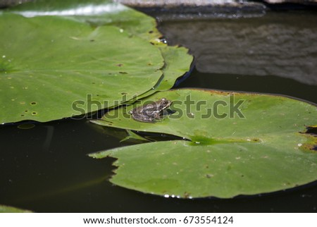 frog in pond #673554124