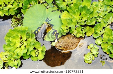 Frog in pond of nature.