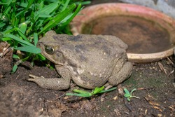 Frog in the garden, close- up.