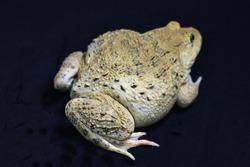 Frog leg on black background Focus on frog legs