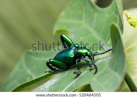Frog Legged Leaf Beetle (Sagra buqueti) on the green leaf