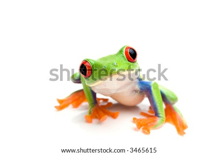 frog macro - a red-eyed tree frog (Agalychnis callidryas) isolated on white