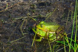 Frog mating together in a lake