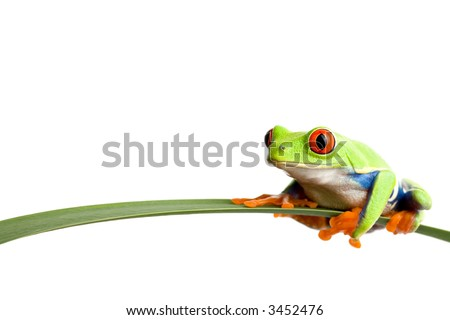 frog on a leaf - a red-eyed tree frog (agalychnis callidryas) closeup, sitting on a long leaf, isolated on white with ample copyspace