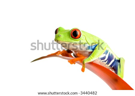 frog on a leaf isolated on white, a red-eyed tree frog (Agalychnis callidryas) perched on the leaf of a guzmania, closeup.