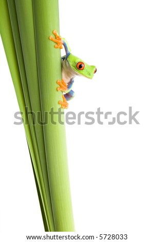 frog on a plant - a red eyed tree frog (Agalychnis callidryas) isolated on white