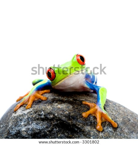 frog on a rock, a red-eyed tree frog (Agalychnis callidryas) closeup isolated on white