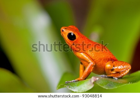 frog orange poisonous animal of rain forest panama Exotic poison dart frog terrarium pet tropical exotic herp species of jungle - stock photo