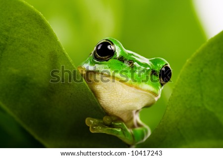 Frog peeking out from behind the leaves - stock photo