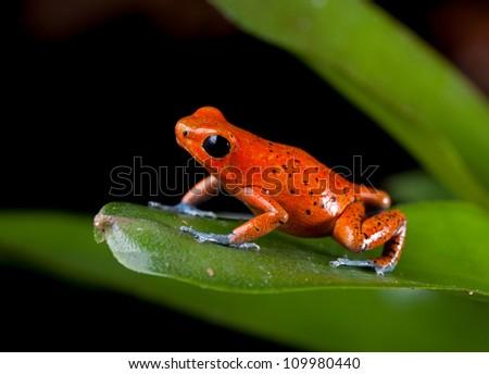 Pet frogs species - photo#26