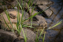 Frog Rana ridibunda (pelophylax ridibundus) sits on stone on shore of pond. Evergreen landscaped garden. Sedge Carex grows between stones. Natural habitat and nature concept for design.