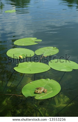 frog resting on the waterlily
