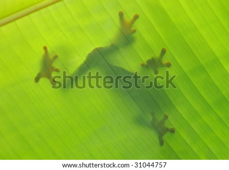 frog silhouette shadow outline banana leaf, drake bay, costa rica , latin america. red eye green tree frog in exotic tropical amphibian lush rainforest jungle setting