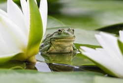 Frog sits on a green leaf among white lilies in a pond