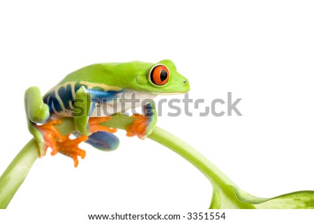 frog sitting on a stem isolated on white, red-eyed tree frog (Agalychnis callidryas)