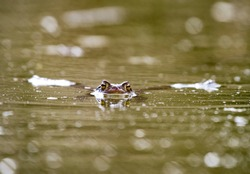 Frog swimming in the water