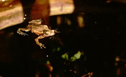 frog swimming on water surface in clay blister at garden