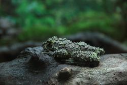 Frog toad forest rainforest wildlife amphibian