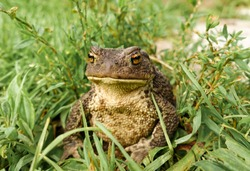 Frog - Toad In The Grass. Face portrait of large amphibian in the nature habitat