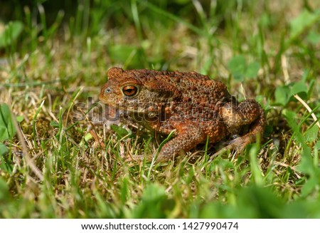 Frog. Toad is a common name for certain frogs, especially of the family Bufonidae, that are characterized by dry, leathery skin, short legs, and large bumps covering the parotoid glands