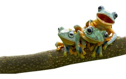 Frog, tree frog, bestfriend amphibian white background