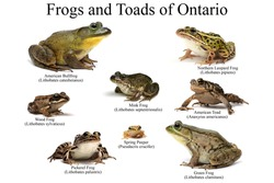 Frogs and Toads of Ontario on a white background