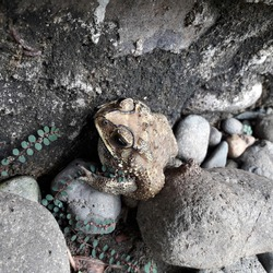 Frogs hide in rocks during the day. Great for biology, backgrounds and more.