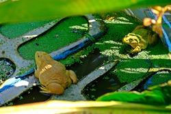 Frogs (Hoplobatrachus rugulosus, Rana rugulosa Wiegmann) in pond in a frog farm.