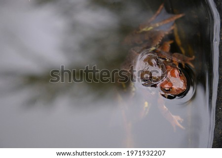 Frogs mate in the water in spring Foto stock ©