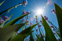 Frogs Perspective of Violet Iris Flowers with Green Leaves Pointing to the Blue Sky and Sun