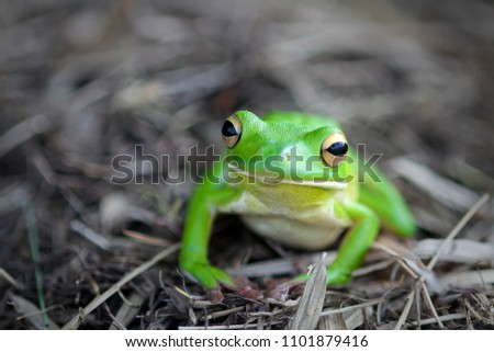 frogs, tree frogs, dumpy frogs with a dark background