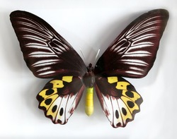 Froides Hypolitus a Beautiful giant butterfly stuffed