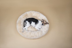 From above Cute mongrel dog looking at camera while resting on fluffy dog bed at home