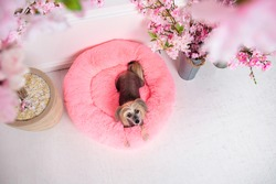From above cute purebred Chinese crested dog looking at camera while lying on pink fluffy dog bed