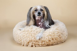 From above view at Cute purebred Chinese crested dog looking at camera while resting on fluffy dog bed at home